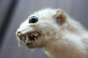 Weasel_Weasel