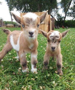 Goat_Baby_Goats