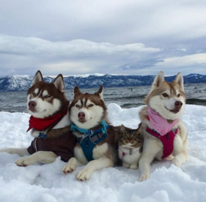 Dogs_Huskies_And_Pal