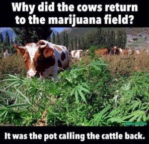 Cows_Going_To_Pot