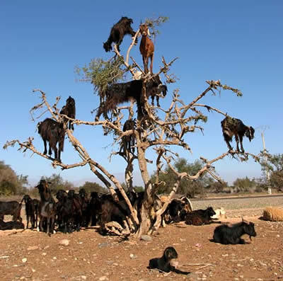 ISIS_Goat_Climb_Tree_For_Date