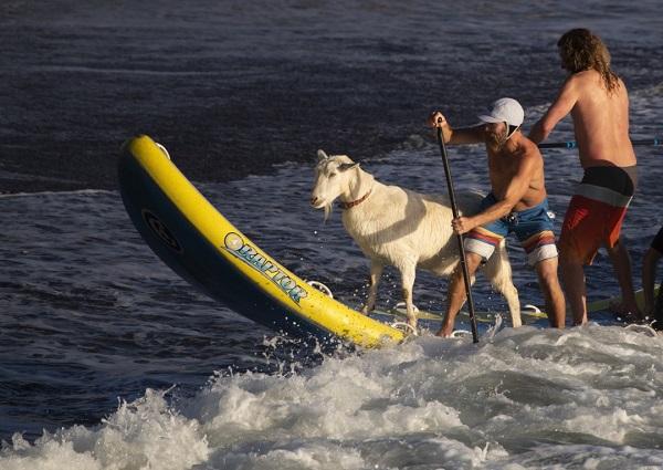 Goat_Surfing_01