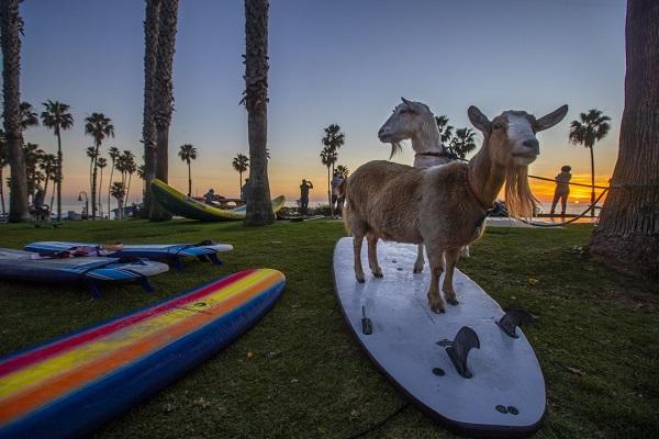 Goat_Surfing_02